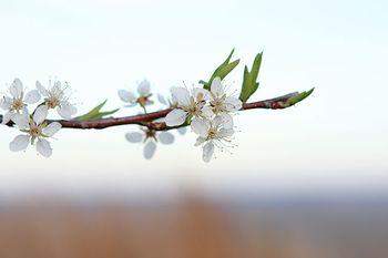 Soft-blossoms