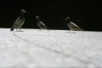 Pigeonschicago