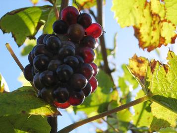 Grapes2_2