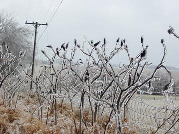 Iceplants